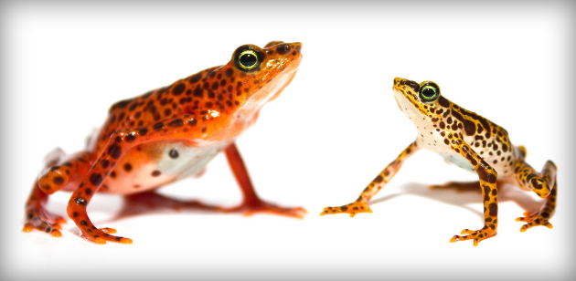 Toad mountain halrequin frog: