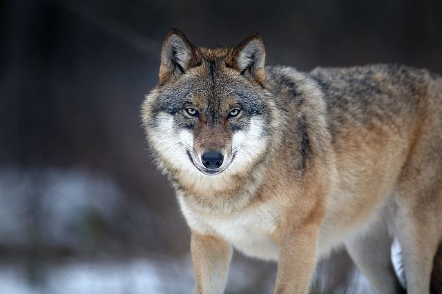 Gray wolves were hunted to near extinction in the western US. By 1973 none remained in the wild. Listed as endangered in 1967, they recolonized the Rocky Mountains from Canada. Protected, they grew to 1,679 wolves by 2009, delisted in 2011: Martin Mecnarowski via Wikimedia Commons