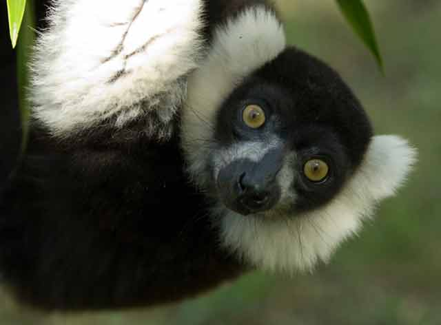 The black-and-white ruffed lemur © Conservation International/photo by Russell A. Mittermeier
