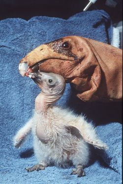 Condor chick being fed by condor feeding puppet Wikimedia Commons