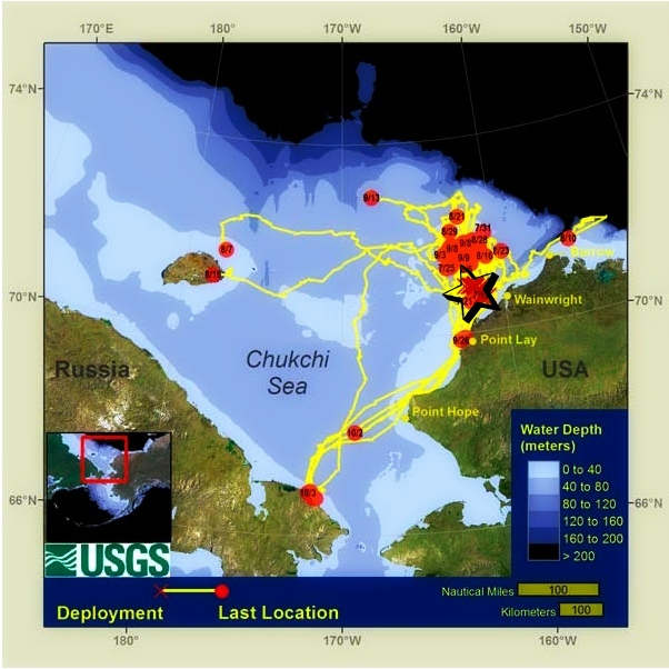 Tracks of 40 tagged walrus in the Chukchi Sea during summer 2012: USGS Alaska Science Center